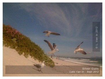 Silver Gulls circling our picnic