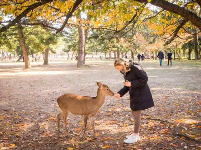 Feeding wild deer at Nara Deer Park in Japan