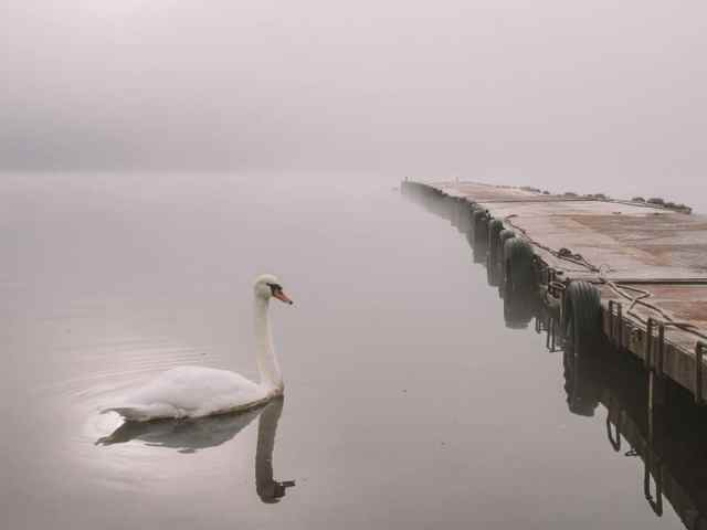 A beautiful swan on a misty lake in Japan