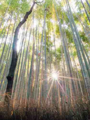 The morning sun peeping through the tall bamboo trees at Arashiyama Bamboo Grove in Kyoto, Japan