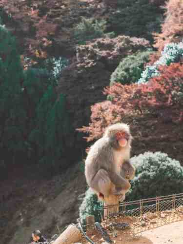 A cheeky monkey at Arashiyama forest in Kyoto, Japan