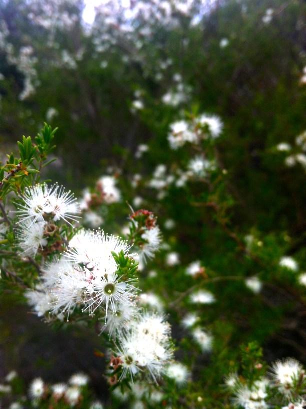 More natives - a eucalyptus variety