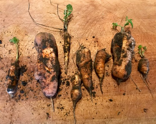 Photo courtesy of author. Overwintered overlooked carrots.