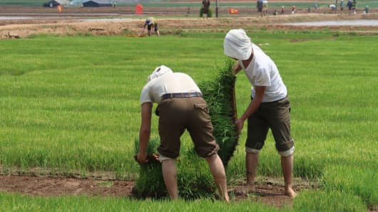 Rice field in North Korea where the use of plastic trays for cultivating rice seedlings has improved production.