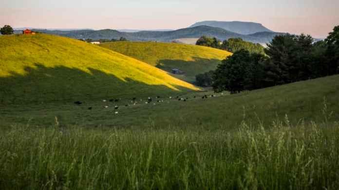 Cattle grazing near Lexington, Virginia
