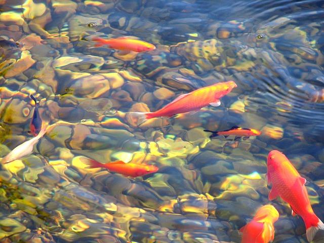 koi swimming