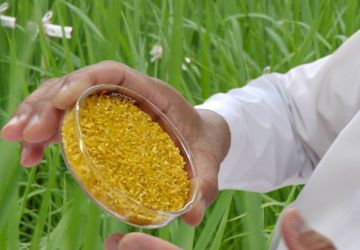 golden rice available on 2023