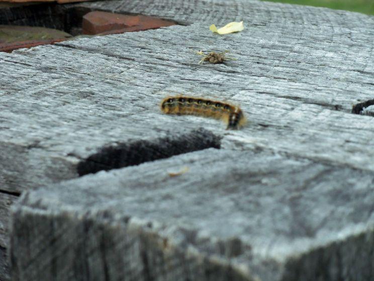 Caterpillarfriend