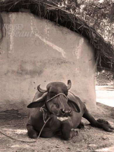 """""""Moo"""" by Rachel Cancino-Neill taken in India: 2010"""