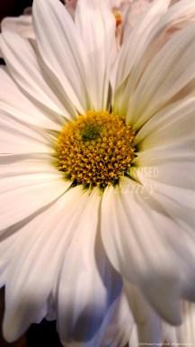 """Daisy Up-Close 2"" by Rachel Cancino-Neill taken in Springfield, Missouri: 2015"
