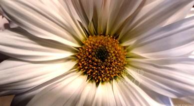 """Daisy Up-Close"" by Rachel Cancino-Neill taken in Springfield, Missouri: 2015"