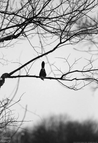 Hanging Blue Jay