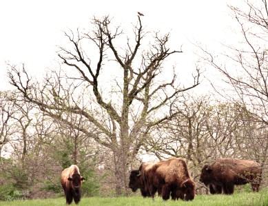 The Bison Herd