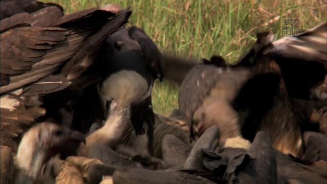 Saving Asia's Vultures from Extinction