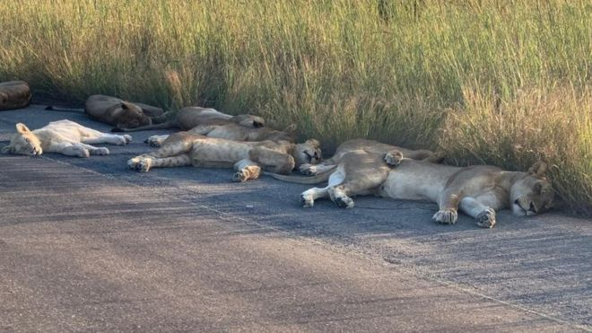 You can't leave that lion there: big cats nap on road in South Africa amid lockdown
