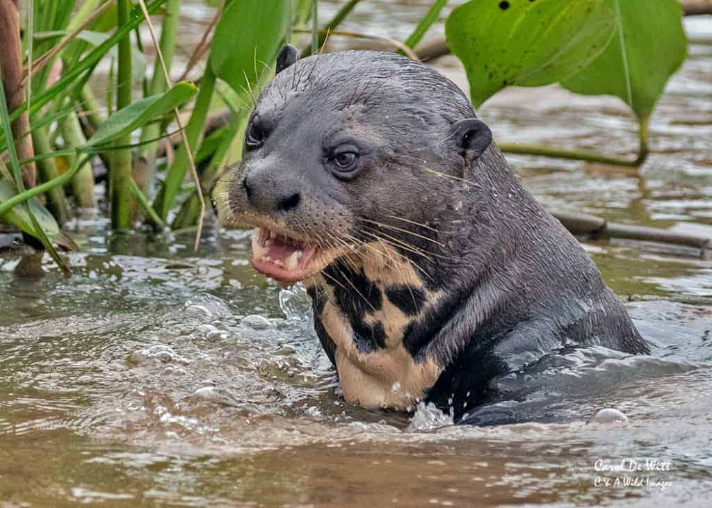 Giant River Otters of The Rio Tres Irmaos (Three Brothers River)