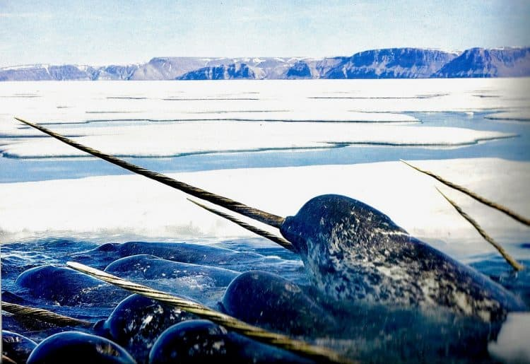 """Rapidly warming oceans have left many northern marine mammals swimming in troubled waters. But perhaps none more so than than the strange and mysterious """"unicorn of the sea,"""" the narwhal."""