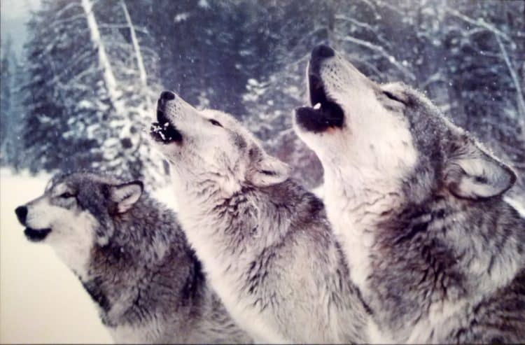 According to a new study – there's simply no proof that wolf culls – aimed at saving western Canada's endangered mountain caribou – are working.