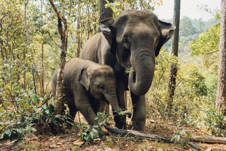 An Entire Thai Village is in the Business of Mercilessly Training Elephants for Captivity