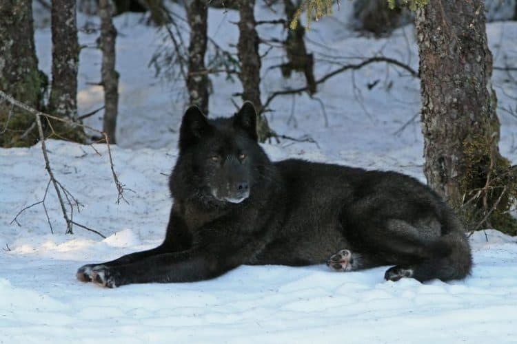 POLL: Should Gray Wolves be Kept on the Endangered Species List?