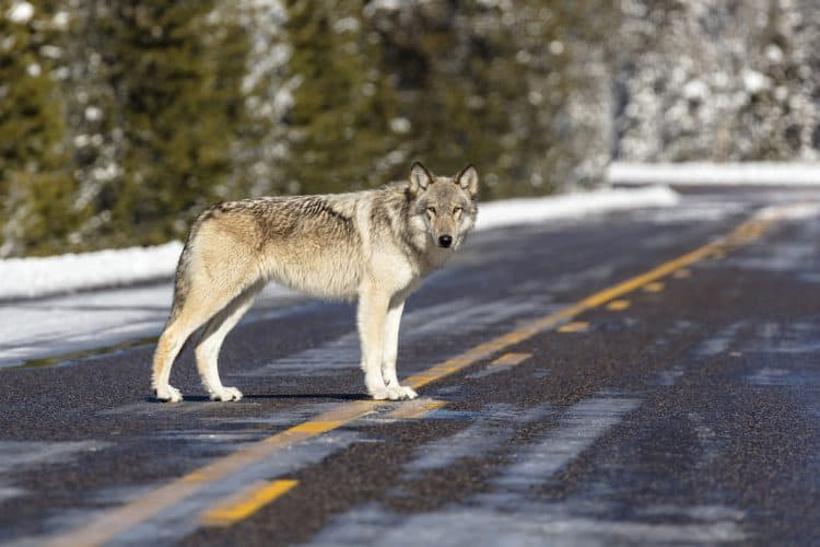 Opinion: Cruelty toward wolves is erasing conservation efforts. It's time to reinstate their protections.