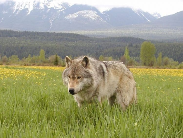 B.C. predator cull would target 80 per cent of wolves in caribou recovery areas