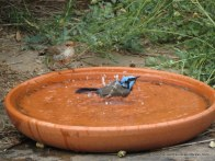 Superb Fairy-wrens, female and male