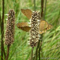 Common Browns on Small Grass Tree