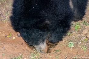 Sloth Bear Digging