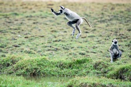 Leaping Langur