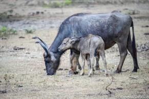 Mother and calf water buffalo
