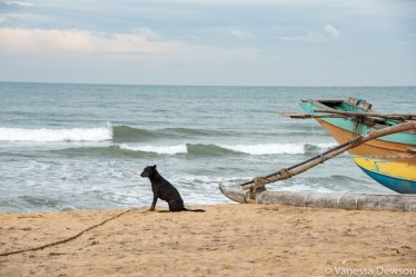 Stray dog and fishing boat, Wadduwa Beach, Sri Lanka