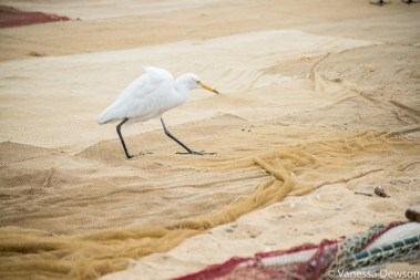 Egrets and crows did a good job cleaning the nets. Wadduwa Beach, Sri Lanka