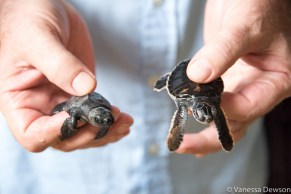 3-day old baby sea turtles. Sri Lanka