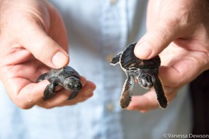3-day old baby sea turtles. Sri Lanka