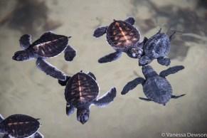 Baby Sea Turtles, Sri Lanka