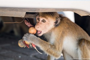 Mischievous Macaque Monkey trying to eat the offering to keep evil spirits away under our vehicle