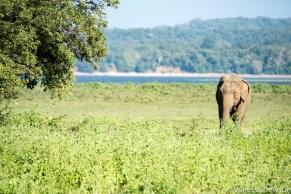 Wild elephant in Minneriya, Sri Lanka