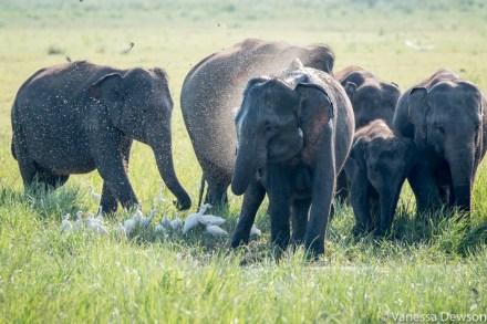 Wild elephants in Minneriya, Sri Lanka