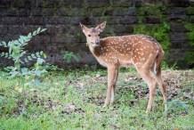 Spotted Deerin Minneriya, Sri Lanka
