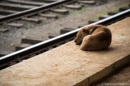 Station dog in Nanu Oya, Sri Lanka