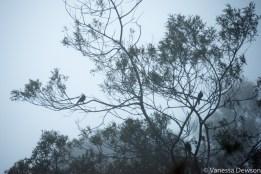 Endemic Sri Lankan Wood Pigeons