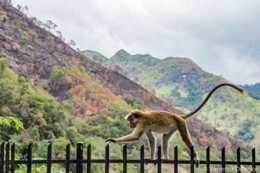 Macaque in near Ella, Sri Lanka