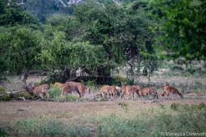 Spotted Deer, Yala National Park, Sri Lanka