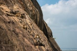 Macaque monkeys in Sigiriya