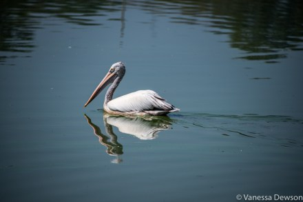 Pelican in Beira Lake