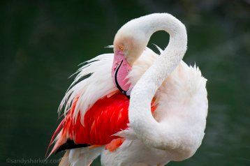 Grooming Flamingo. Photo by: Sandy Sharkey