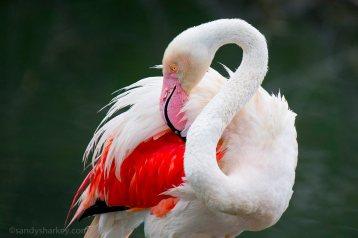 Grooming Flamingo. Photo by: Sandy Sharkey