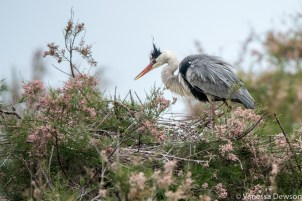 Juvenile (punk) heron. Photo by: Vanessa Dewson