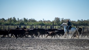 Corralling the bulls. Photo by: Vanessa Dewson